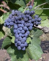 Blauer Portugieser - Trauben